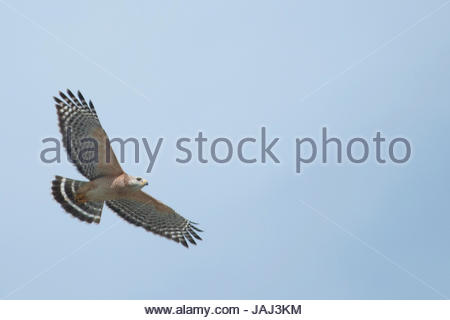 A red-shouldered hawk, Buteo lineatus, in flight. - Stock Photo