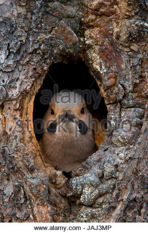 A northern flicker in the hollow of a tree. - Stock Photo