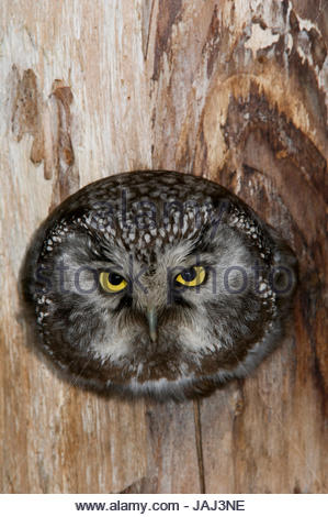 A boreal owl in the hollow of a tree. - Stock Photo
