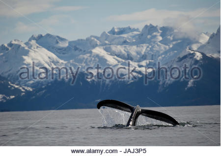 The fluke of a humpback whale. - Stock Photo