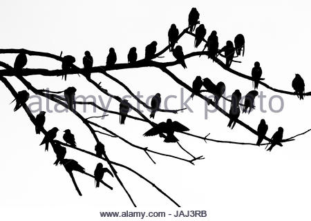 Silhouette of birds perched on the branches of a dead tree above the Occoquan River. - Stock Photo