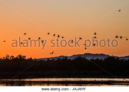 Flock of birds flying over the Salton Sea at sunset. - Stock Photo