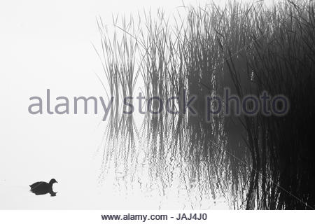 An American Coot, Fulica americana, on a pond in the morning fog in the San Jacinto Wildlife Area in Southern California. - Stock Photo