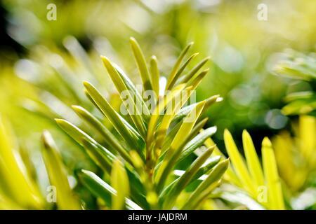 Yew Tree - New Growth - Stock Photo