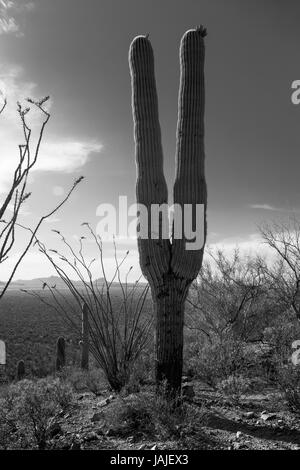 Black and white image of a saguaro cactus, looks like two legs in the air, victory sign, peace sign, tuning fork.. - Stock Photo