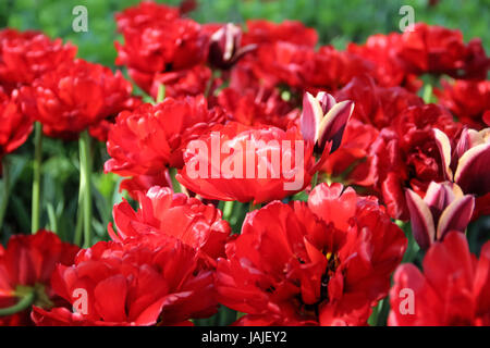 Red  and Multicolored Tulips Flowers in Ottawa Tulip Fest,  Ontario, Canada, Background, Accent on Red Tulips - Stock Photo