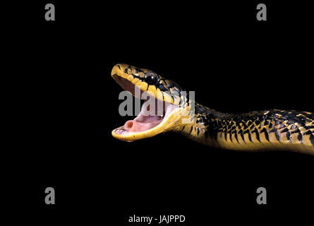 Queue,poultry eater,Spilotes pullatus,open mouth, - Stock Photo