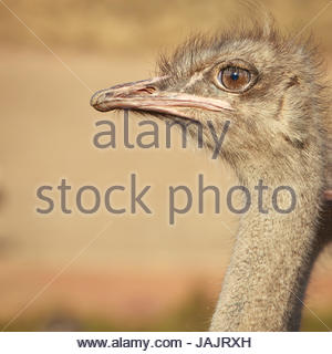 Closeup of Emu (Dromaius novaehollandiae) is the second-largest living bird by height, after its ratite relative, - Stock Photo