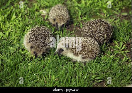 Hedgehog,Erinaceus europaeus,young animals, - Stock Photo