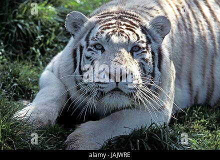 White tiger,Panthera tigris,portrait,adult's animal, - Stock Photo