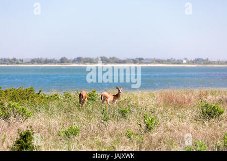 pair of female deer, does eating in a field of wild vegetation - Stock Photo