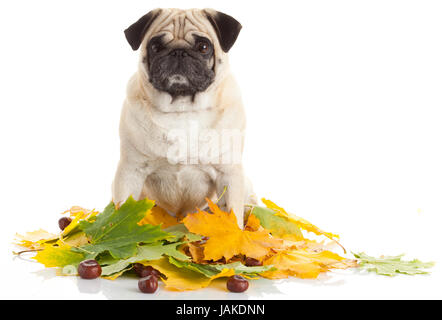 Pug Dog isolated on white background with autumn leaves - Stock Photo