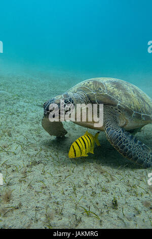 single sea turtle with yellow exotic fish on the bottom of red sea in egypt - Stock Photo