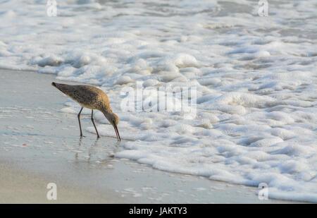 Willet (catoptrophorus semipalmatus) feeding on Indian Rocks beach in Florida, USA - Stock Photo