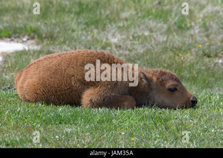 Close up of a bison calf curled up on green grass ready for a nap. Photographed in Yellowstone National Park. - Stock Photo