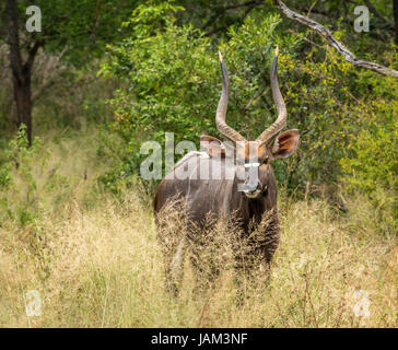 Close up of watchful male nyala, Tragelaphus angasii, Sabi Sands safari game reserve, Greater Kruger National Park, - Stock Photo