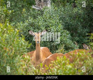Alert female impala, Aepyceros melampus, in bushes, Sabi Sands safari game reserve, Greater Kruger National Park, - Stock Photo