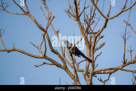 An Asian Male Koel  perched on a tree - Stock Photo