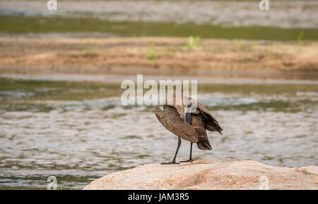 Hamerkop, Hammerhead, Scopus umbretta, preening on rock near river, Sabi Sands safari game reserve, Greater Kruger - Stock Photo