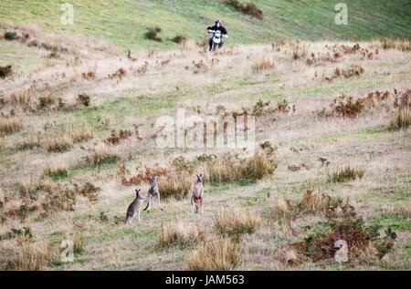 farmer on motorbike running the kangaroo out of his field in Australia - Stock Photo