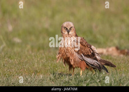 western marsh harrier (Circus aeruginosus) adult male perched on ground, Danube delta, Romania - Stock Photo