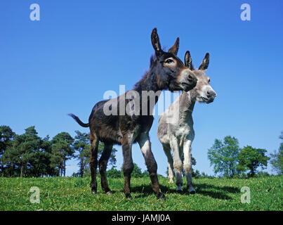 French grey donkey and house donkey,meadow, - Stock Photo