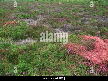 heathland detail at Cap Frehel in Brittany, France - Stock Photo