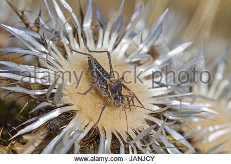 Südlicher Warzenbeißer oder Decticus albifrons genannt  lebt im Mittelmeerraum und Südosteuropa - Stock Photo