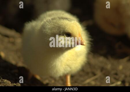 A Two Day Old Baby Chick Outside For The First Time - Stock Photo