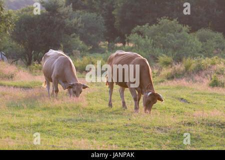Ein Ur-Rind auf einer Wiese in der Wahner Heide - Stock Photo
