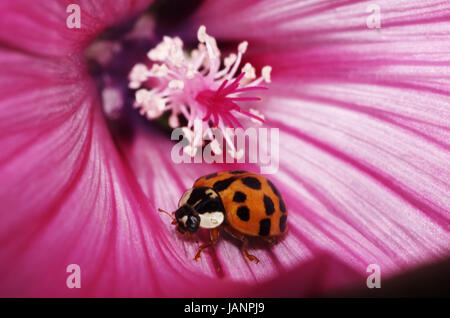 Marienkäfer auf Malvenblüte - Stock Photo