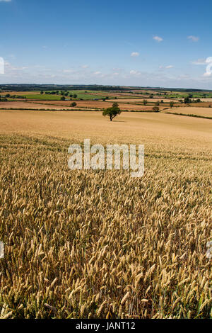 Landscape photography image of golden Wheat fields. Beautiful undulating patchwork of Wheat fields during summer - Stock Photo
