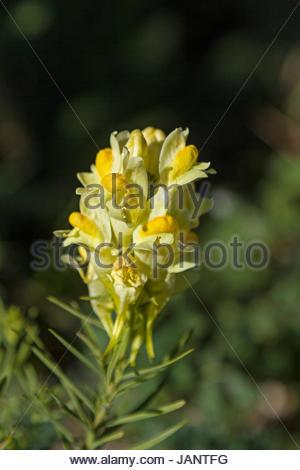 Kleines Löwenmaul oder auch Echtes Leinkraut genannt  ist häufig auf warmen Böschungen und sonnenbeschienenen Feldern - Stock Photo