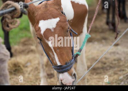 Horse with Heterochromia Iridum - Stock Photo