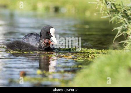 Bushy Park, West London. 7th June 2017. A coot and it's chic, swimming in calmer waters after yesterday's bad weather. - Stock Photo