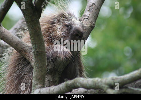 Close Up of Porcupine in Tree - Stock Photo