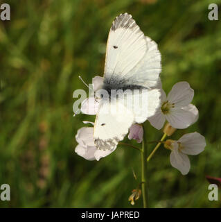 female Orange Tip butterfly (Anthocharis cardamines) on flowers of its food plant Cuckoo Flower or Ladies Smock - Stock Photo