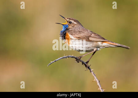 Bluethroat (Luscinia svecica) singing, courtship display, male, North Holland, Netherlands - Stock Photo