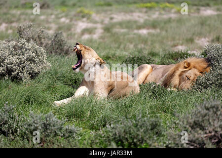 A lion and a lioness yawning and relaxing in the middle of the day, Etosha National Park, Namibia. - Stock Photo