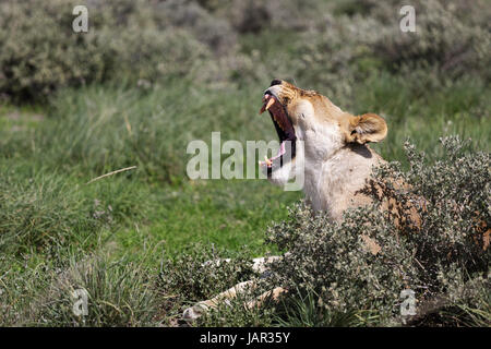 Lioness yawning and relaxing in a small bush, Etosha National Park, Namibia. - Stock Photo