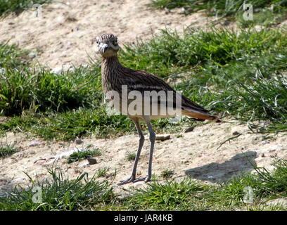 South European stone curlew, (Burhinus oedicnemus), a.k.a. Eurasian thick-knee. - Stock Photo