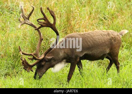 A Woodland Caribou walking through a summer field. - Stock Photo