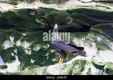 Striated caracara Phalcoboenus australis calling in display Saunders Island Falkland Islands - Stock Photo