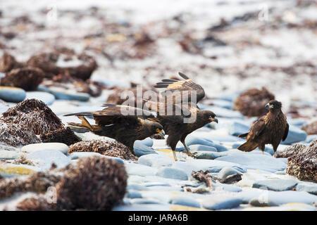 Striated caracara Phalcoboenus australis on pebble beach Sea Lion Island Falkland Islands - Stock Photo