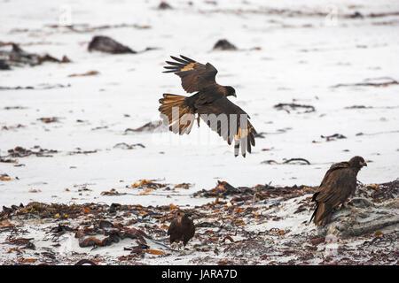 Striated caracara Phalcoboenus australis flying over shore line Sea Lion Island Falkland Islands - Stock Photo
