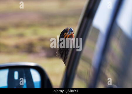 Striated caracara Phalcoboenus australis perched on a vehicle Bleaker Island Falkland Islands November 2015 - Stock Photo