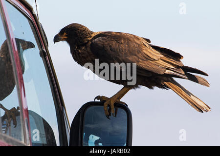 Striated caracara Phalcoboenus australis perched on the wing mirror of a car looking at his reflection Bleaker Island - Stock Photo