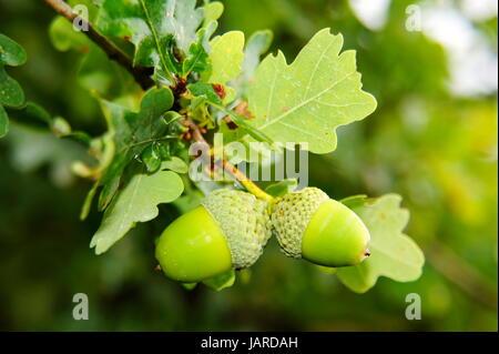 grüne Eicheln am Zweig Makro - Stock Photo