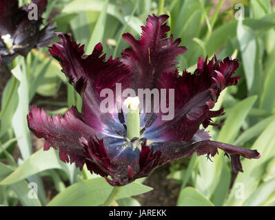 Tulip Black Parrot in flower in April in an English garden - Stock Photo
