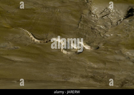 Dog-Faced Water Snake or Maicha Shap  at the Sundarbans, a UNESCO world heritage Site. Bagerhaat, Bangladesh - Stock Photo